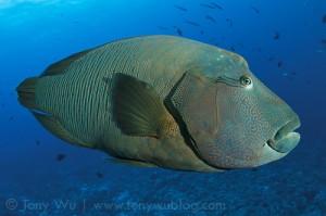 Mendesak, Pengelolaan Ikan Napoleon di Kepulauan Anambas