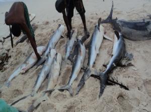 Penangkapan Hiu Secara Tradisional oleh Masyarakat di Pulau Bepondi, Papua