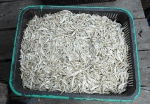 Hasil tangkapan ikan teri di Pulau Sebatik