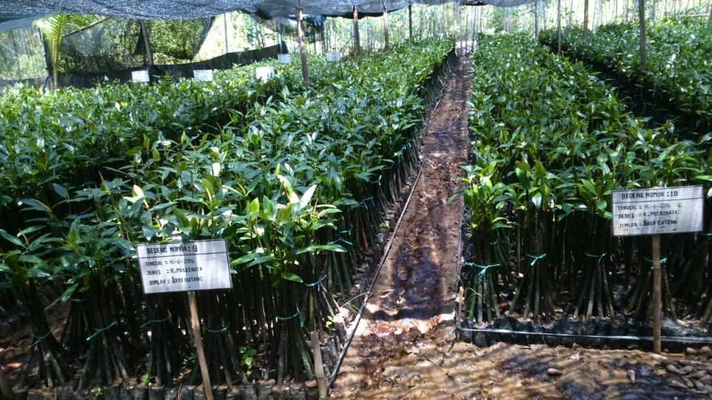 Mojo Memasang  Ajir Mangrove