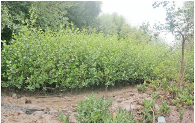Bibit mangrove yang akan ditanam oleh Kelompok