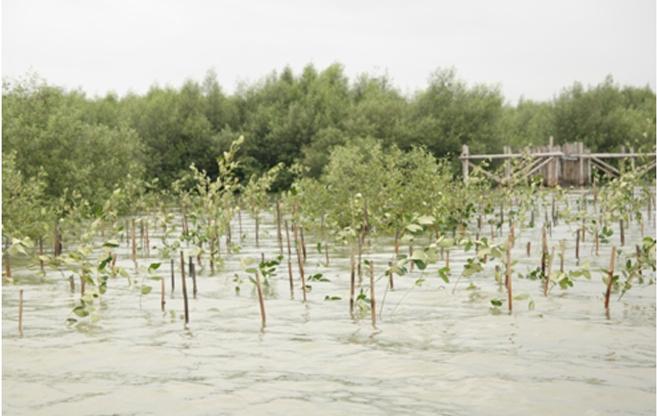 Kondisi mangrove yang baru saja ditanam