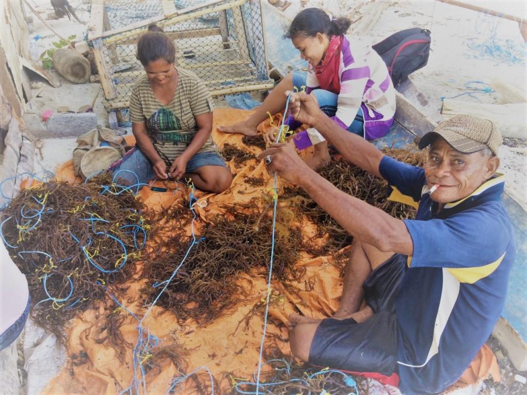 Kegiatan penanaman bersama untuk memulai kembali budidaya rumput laut di Desa Lermatang