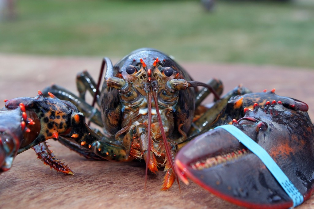 Penyelundupan Benih Lobster Kian Marak
